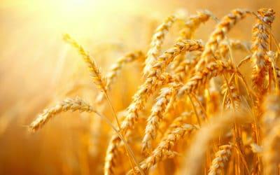 Weizen & Co: Alte Getreidesorten neu entdeckt
